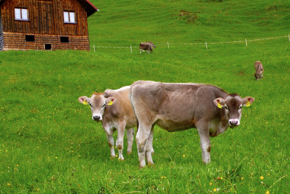 The breed of cows here are Brown Swiss Cows.  There are also Belted Cows, but I have not yet seen them.