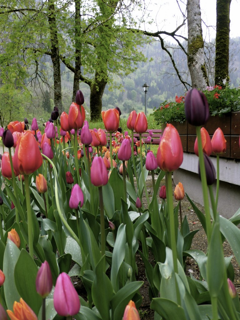 Tulips near the Kneipp Foot Bath Therapy Pool.