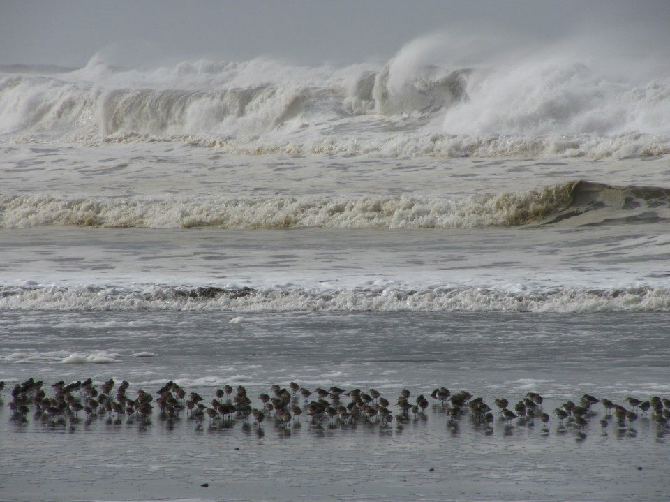 Winter Waves and Shorebirds, Ocean Shores, Washington