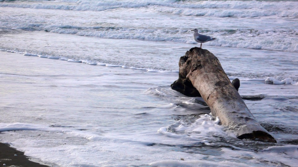 gull on driftwood with incoming tide