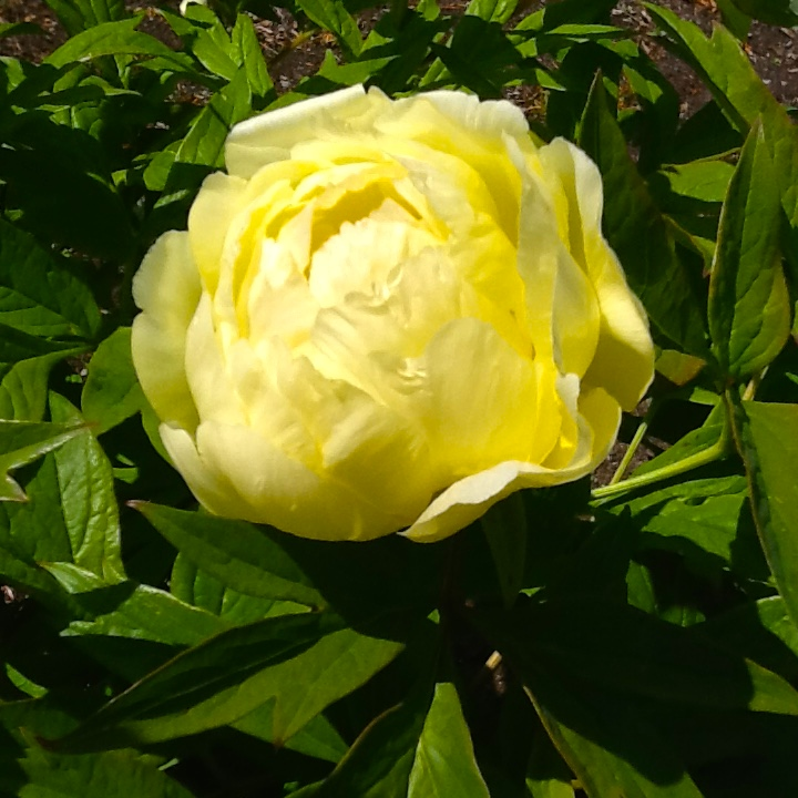 Another yellow peony.  Please don't kill ants if you see them on your peonies!  No ants, no peonies!
