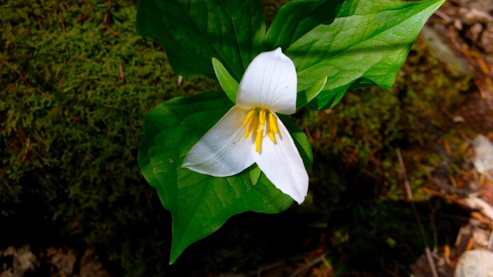 Trillium, a delicate perennial flower