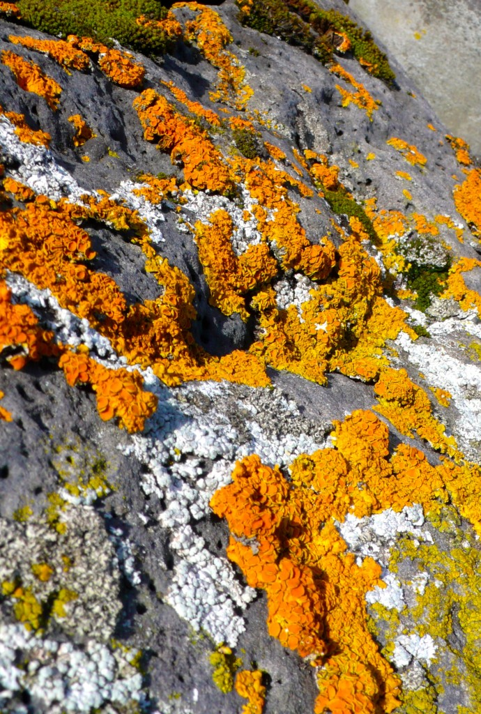 Lichen on the lava rocks of the black beaches of Reykjavik