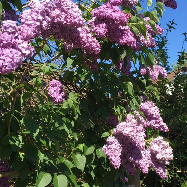 I'd say my lilacs are fully matured and enjoying spring!