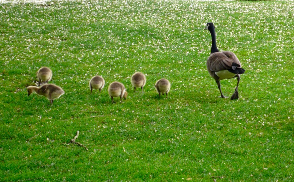 Mamma Goose and her babies