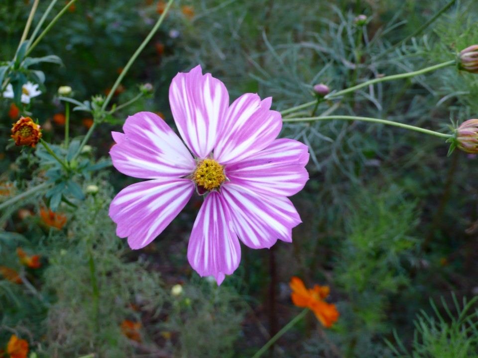 The cosmos were so beautiful in the park.