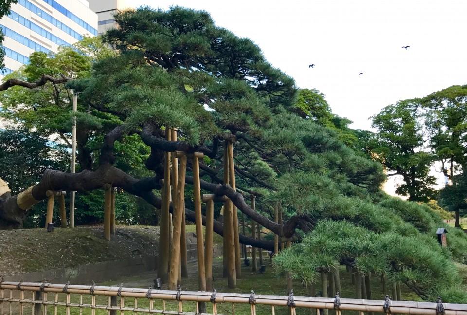 300 year old pine tree