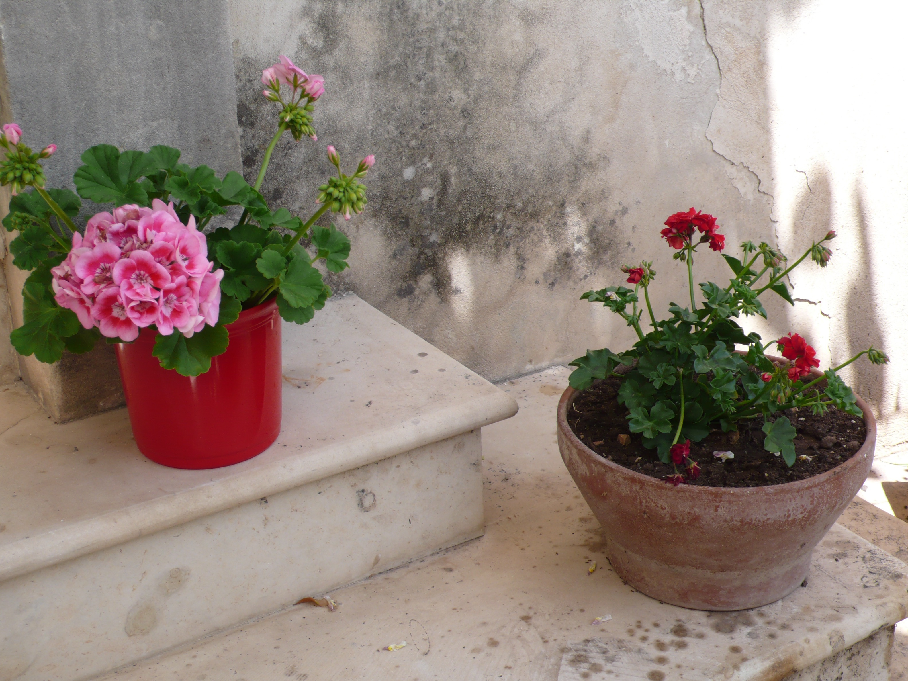 Sweetness: potted geraniums