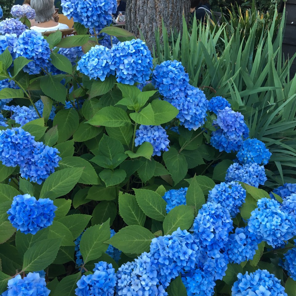 Annette's hydrangeas in full bloom.