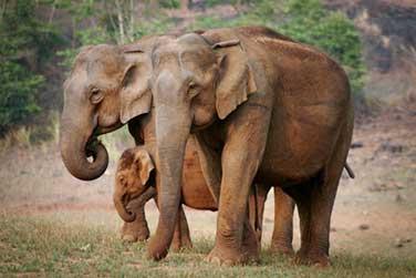 elephants-periyar-1