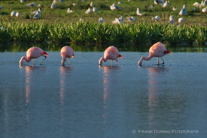 Flamingo, Zwillbrocker Venn