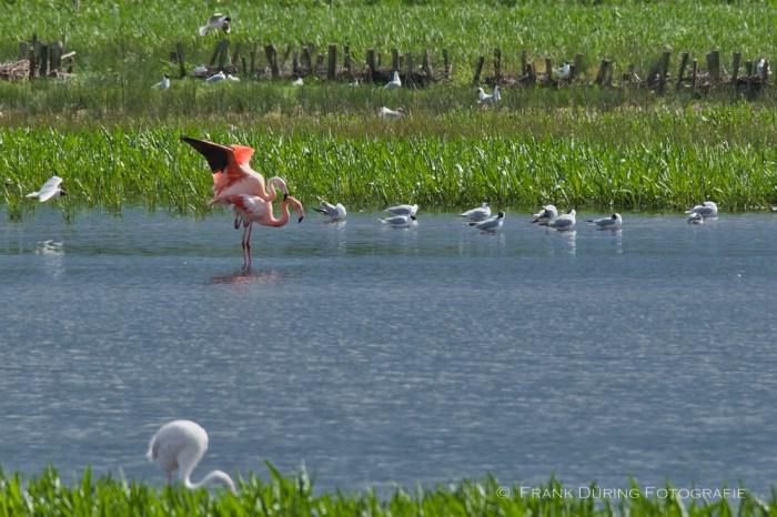 Flamingo, Zwillbrocker Venn, Paarung