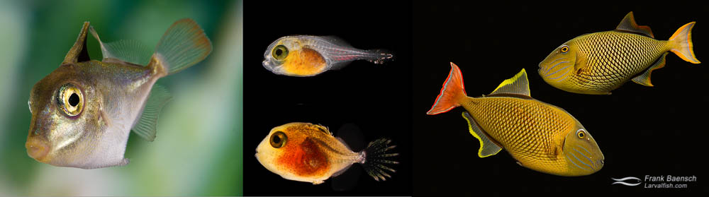 Crosshatch Triggerfish (Xanthichthys mento) pair (male below female). Triggerfish larva, 3 mm TL, 17 days post-hatch (dph), 8.6 mm TL, 54 dph. Triggerfish postlarva, 43 mm TL, 101 dph.