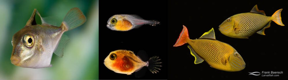 Crosshatch Triggerfish (Xanthichthys mento) pair (male below female). Triggerfish larva, 2.3 mm TL, 7 days post-hatch (dph), 3 days after first feeding. Triggerfish larva, 8.9 mm TL, 42 dph. Triggerfish postlarva, 43 mm TL, 101 dph.
