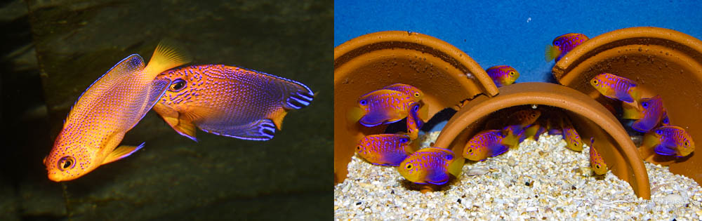 Left: A pair of Japanese Pygmy Angelfish (male on right). Right: 65-day-old Japanese Pygmy Angelfish juveniles.