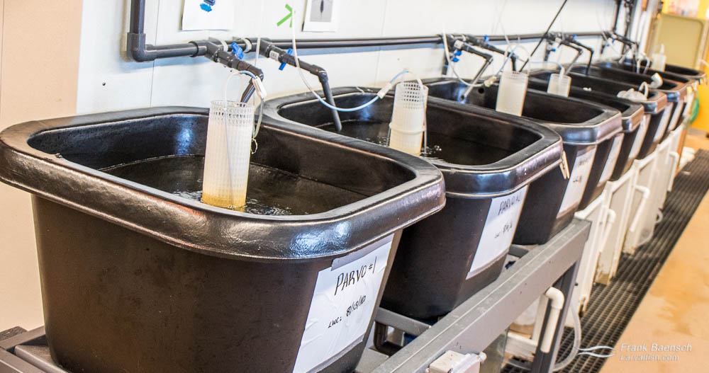Live food rearing tanks at the Marine Biology Wetlab, Roger Williams University, Rhode Island.