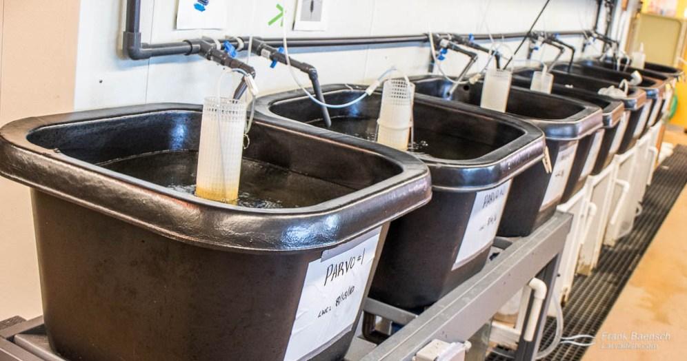 Live food rearing tanks at the Marine Biology Wetlab, Roger Williams University, Rhode Island.