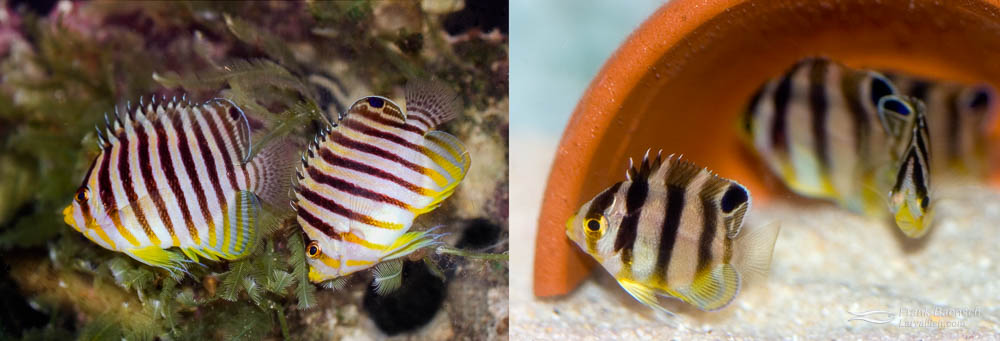 Left: A pair of Multibarred Angelfish.  Right: 45-day-old juvenile Multibarred Angelfish. (just past metamorphosis)