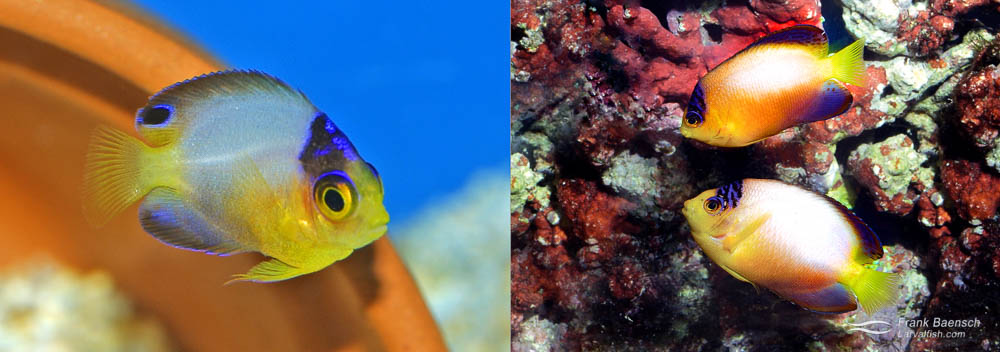 Left: A pair of Multicolor Angelfish (male on right). Right: A 105-day-old Multicolor Angelfish juvenile.