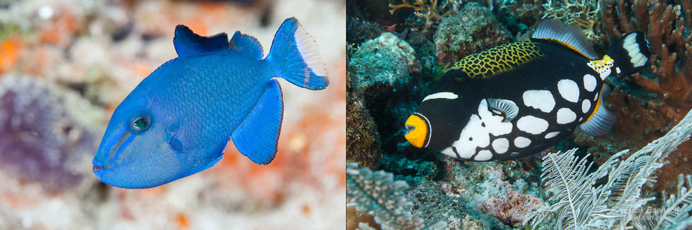 Left: Clown Triggerfish, a popular and expensive aquarium addition. Right: Niger Triggerfish juvenile. Aquarists prefer juveniles to the more aggressive and expensive adults.