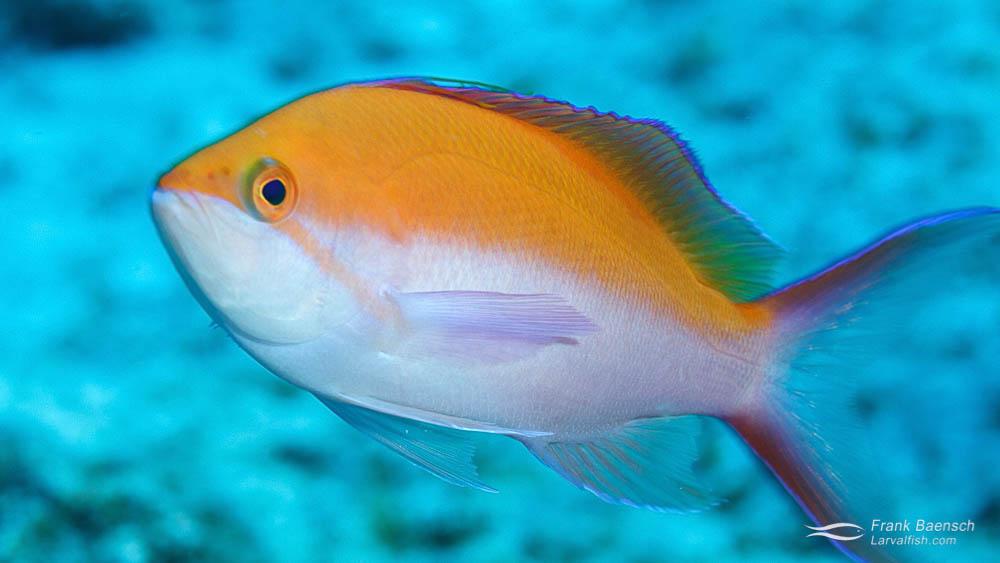 Adult Bicolor Anthias (Pseudoanthias bicolor) on a reef in Hawaii.