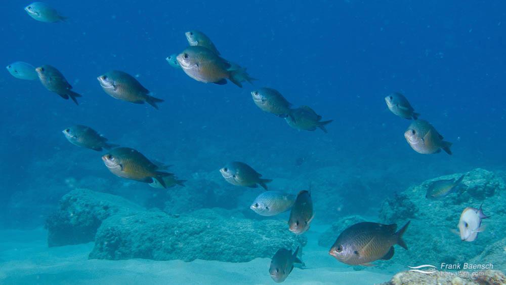 Oval Chromis (Chromis ovalis) feeding on plankton on a reef in Hawaii.