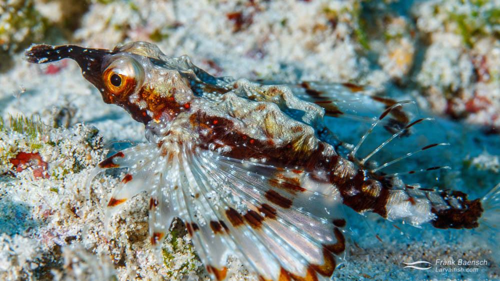 Laboratory reared juvenile Hawaiian Seamoth (Eurypegasus papilio) released on the reef.