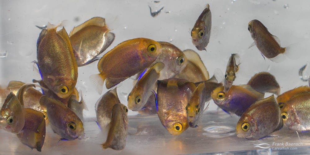 Cultured pygmy angelfish (Centropyge) hybrids at RCT.