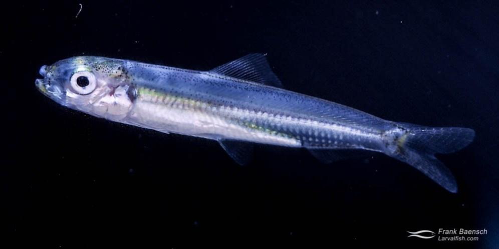 Sardine larva