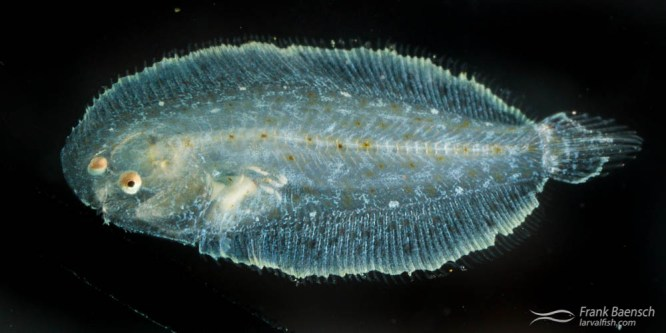 Therese's Sole Larval Rearing