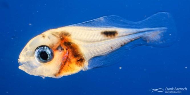 Damselfish  Larval Rearing