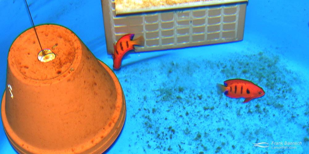 Flame angelfish  (Centropyge loricula) broodstock tank.