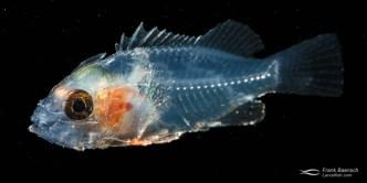 Bony Fishes: Osteichthyes, Fishes, Papua New Guinea, Scorpionfishes: Scorpaenidae, early life history, larval fish