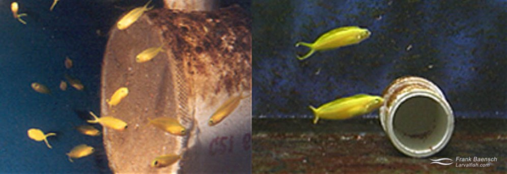 Left: Canary Blenny pair (male on bottom) with nest (in pipe).Right: 64-day-old canary blenny juveniles. (video grabs)