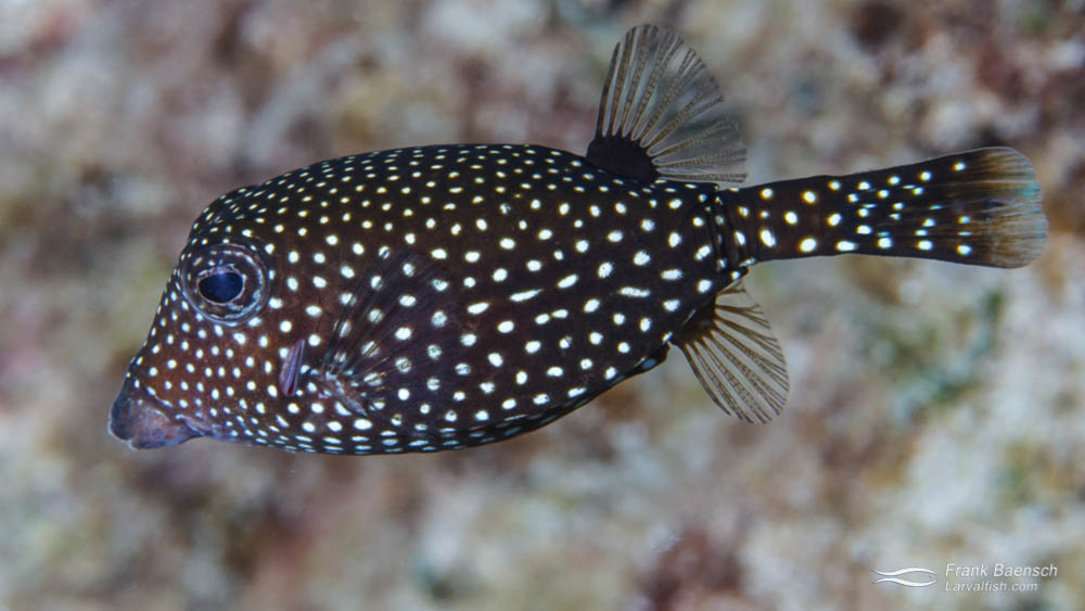 Female adult Spotted Boxfish (Ostracion meleagris) on a reef in Hawaii.