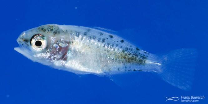 Pacific Chub Larval Rearing