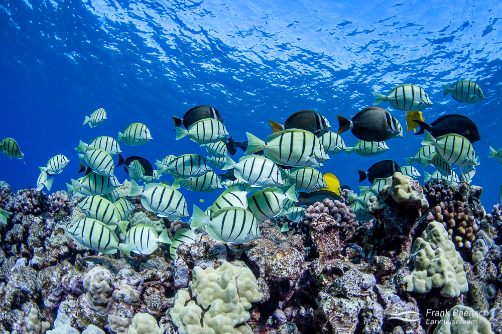 Convict tang adults grazing on a reef