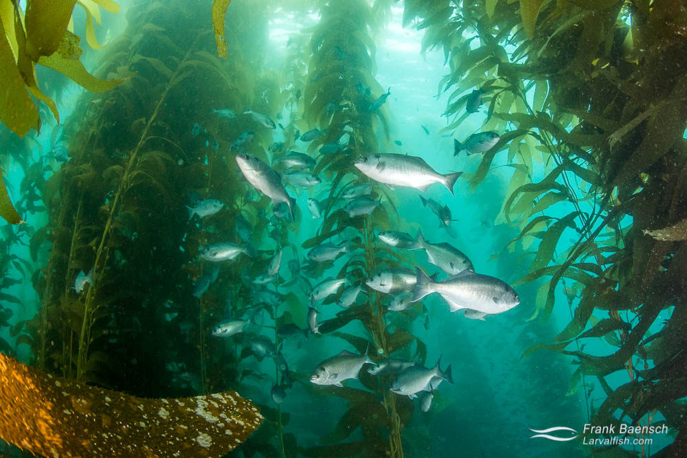 Halfmoon (Medialuna californiensis) seek shelter in kelp forest. California.