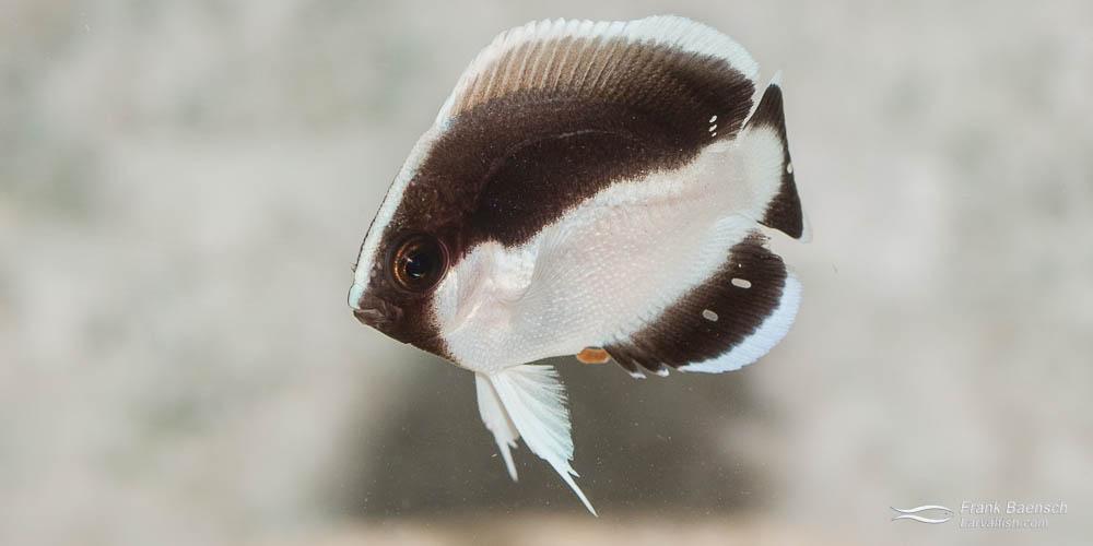 Juvenile bandit angelfish (Desmoholacanthus arcuatus) raised in the laboratory.