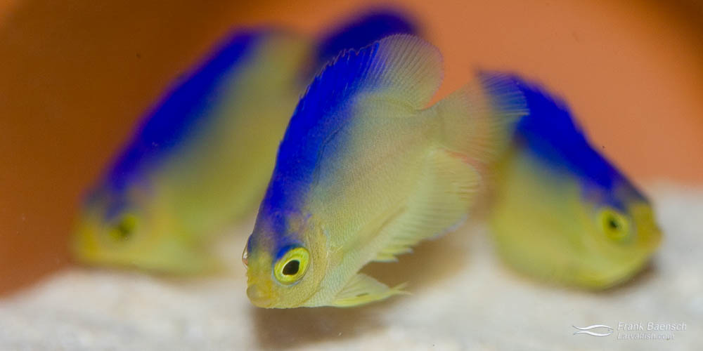 52-day-old juvenile Colin's angelfish