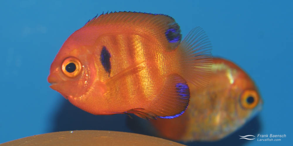 A 90-day-old flame angelfish juvenile.