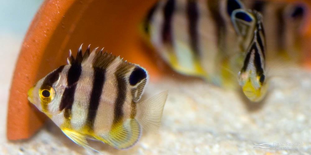 45-day-old juvenile multibarred angelfish.