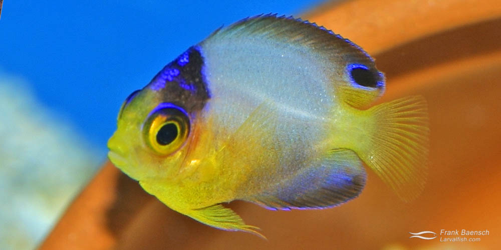 A 105-day-old multicolor angelfish juvenile.