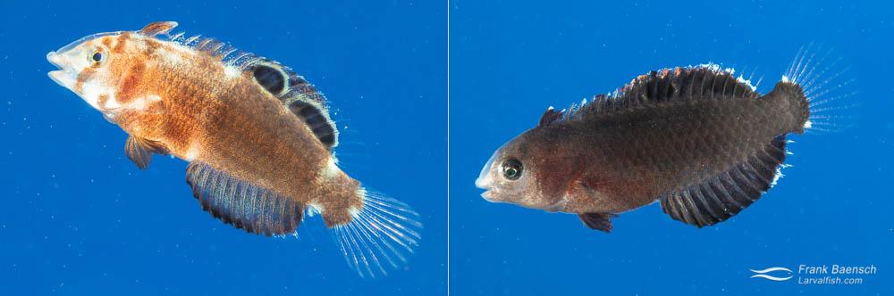 Color variation of juvenile whitepatch razorfish (Iniistius aneitensis) - 54 days old.