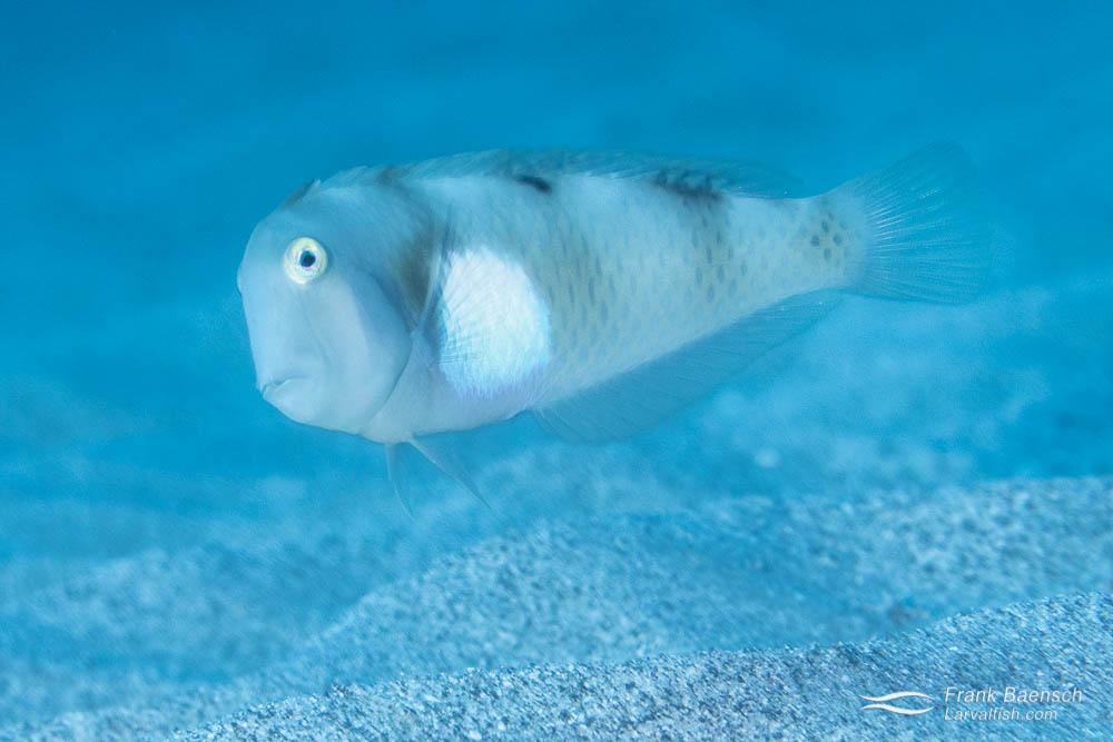 Adult whitepatch razorfish (Iniistius aneitensis).