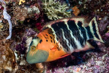 The beautuful redbreasted wrasse (C. fasciatus) cruising over reef in the Solomon Islands.