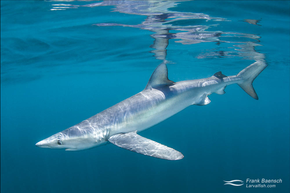 A blue shark (Prionace glauca) in waters off New England.