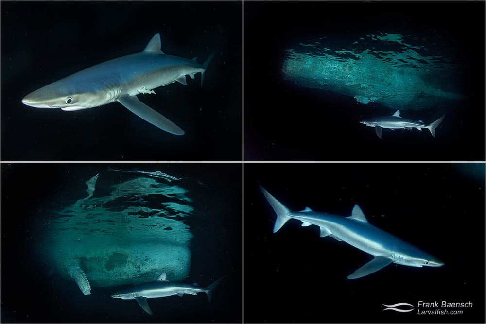 The rare sight of blue shark (Prionace glauca) next to a sperm whale carcass in waters off Oahu.