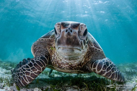 Head on shot of  green turtle (Chelonia mydas).