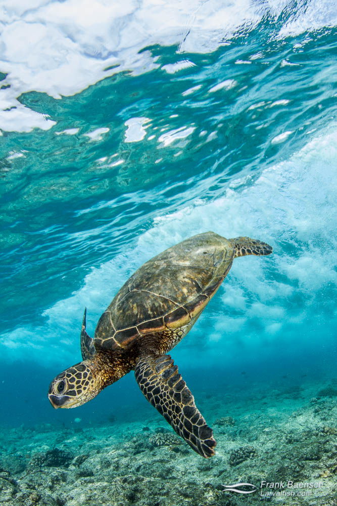Green sea turtle swims dow under a breaking wave.